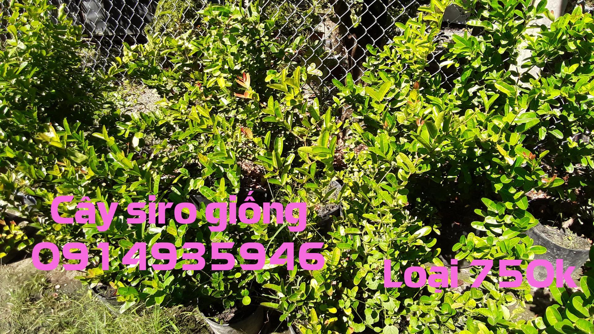 Cây Siro 500k, BỤI LỚN cao khoảng 50 - 60cm