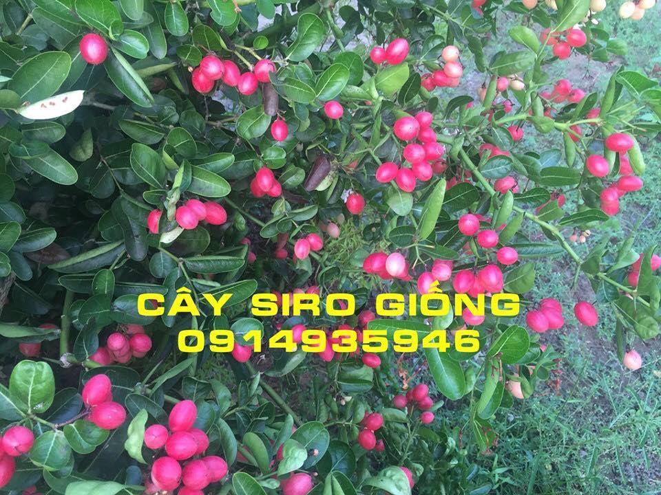 HƯỚNG DẪN Cách trồng cây siro