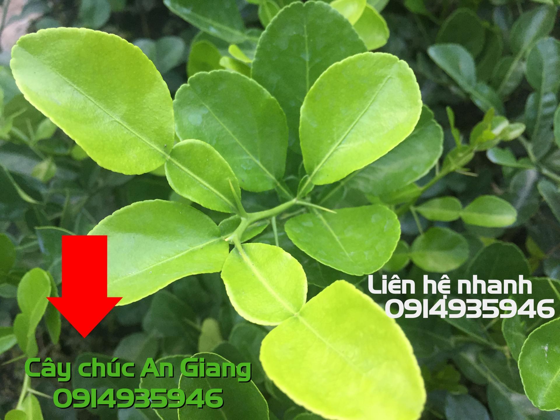 Cây Chúc = Chanh Thái 30k 1 cây
