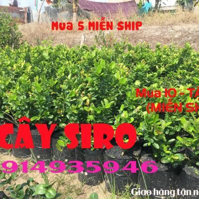 Cây Siro Phù hợp với cả khí hậu Việt Nam
